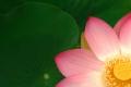 Lotusblüte I