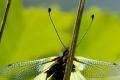 Schmetterlingshaft I