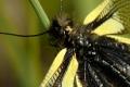 Schmetterlingshaft II