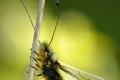 Schmetterlingshaft III