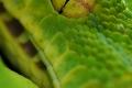 Grüne Baumphyton