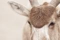 Mendes Antilope I