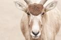 Mendes Antilope III