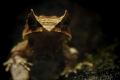 Zipfelkröte