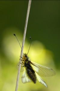 libelloides coccajous im Gegenlicht