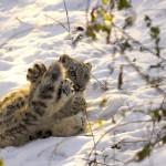 Junger Schneeleopard beim spielen